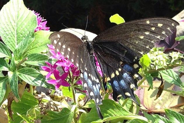 Butterfly at the Crescent Hotel