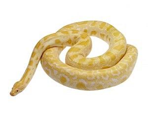 Python - Brand X Pictures/ThinkStock