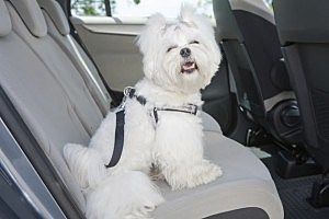 Dog in the car - humonia/ThinkStock