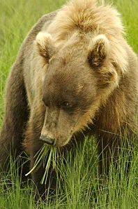 grizzly bear - Bill Booth/ThinkStock
