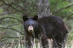 Bear - JHWilliams/ThinkStock
