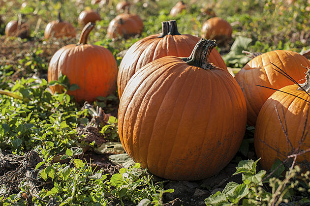 Fall Harvest Pumpkin Patch with ripe Pumpkins